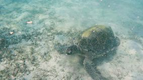 Big Adult green sea turtle Chelonia mydas stock footage