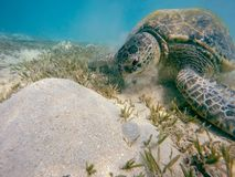 Big Adult green sea turtle Chelonia mydas Royalty Free Stock Photos
