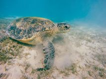 Big Adult green sea turtle Chelonia mydas Royalty Free Stock Images