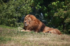 Lion resting on ground Royalty Free Stock Image