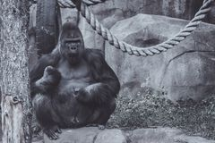 Big adult male gorilla sits on a stone stock image