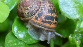 Big adult snail getting out of his shell. One snail shows his jelly body and eyes getting out of his shell crawls over a green leaves stock video footage