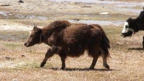 Big adult yak stock video
