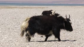 Big adult yaks. stock video footage