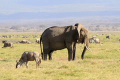 The big African elephant Stock Photo
