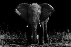Big elephant in black and white. Big african elephant in black and white Stock Photography