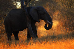 Big African Elephant, with evening sun, back light, animal in the nature habitat, Tanzania. Africa Royalty Free Stock Images