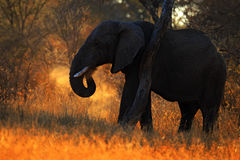 Big African Elephant, with evening sun, back light, animal in the nature habitat, Tanzania. Africa Stock Image