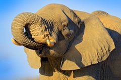 Big African Elephant, on the gravel road, with blue sky, Chobe National Park in Botswana. Wild nature stock image