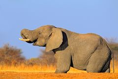 Big African Elephant, on the gravel road, with blue sky and green tree, animal in the nature habitat, Kenya. Animal from Africa wi. Ldlife Stock Photo