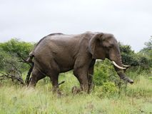 He big African elephant is grazed in savanna Royalty Free Stock Photos
