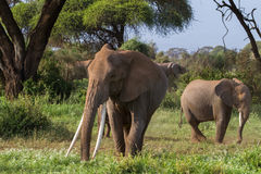 Big african elephant with long tusks. Kenya, Africa Royalty Free Stock Images