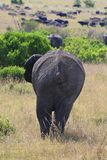 Big African elephant, Loxodonta africana, grazing in savannah in sunny dayand go away. Massai Mara Park, Kenya, Africa. Big African elephant, Loxodonta africana royalty free stock images