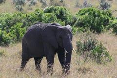Big African elephant, Loxodonta africana, grazing in savannah in sunny day. Massai Mara Park, Kenya, Africa. Big African elephant, Loxodonta africana, grazing royalty free stock photo