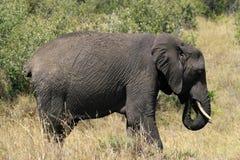 Big African elephant, Loxodonta africana, grazing in savannah in sunny day. Massai Mara Park, Kenya, Africa. Big African elephant, Loxodonta africana, grazing stock image