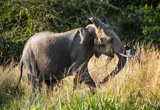 Big African elephant (Loxodonta Africana) shakes his head in anger Stock Photography