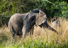 Big African elephant (Loxodonta Africana) shakes his head in anger Stock Photos