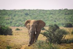 Big African elephant walking in bushes of Addo National Park. South Africa royalty free stock photography