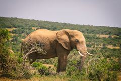 Big African elephant walking in bushes of Addo National Park. South Africa stock photography