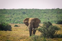 Big African elephant walking in bushes of Addo National Park. South Africa stock photos