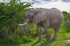 Big African elephant walking through the bushes in the Maasai Mara national park (Kenya). Royalty Free Stock Images
