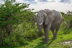 Big African elephant walking through the bushes in the Maasai Mara national park (Kenya) Stock Photos
