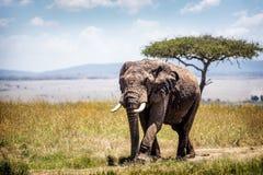African Elephant in Kenya Africa stock image