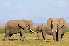 The big African elephants Stock Photos
