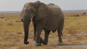 Big african elephants on Etosha national park stock footage