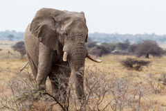 Big african elephants on Etosha national park Stock Image