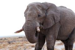 Big african elephants on Etosha national park Stock Photos