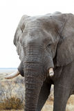 Big african elephants on Etosha national park Royalty Free Stock Image