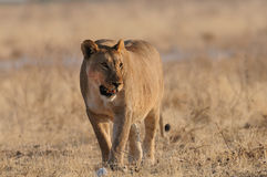 Big african lion after the feed Royalty Free Stock Photos