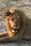 Big African Male Lion Stock Photo