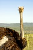 Big african ostrich on safari in South Africa. National park Royalty Free Stock Images