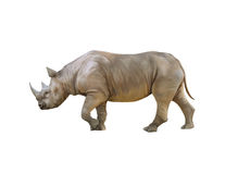 Big african Rhino, Rhinoceros Stock Photo