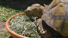 Big African sulcata turtle eating grass. Sulcata tortoise, African spurred tortoise Geochelone sulcata is one of the largest species of tortoise in the world stock video footage