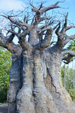 Big and aged baobab Royalty Free Stock Photography