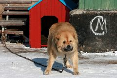 Big Aggressive dangerous dog Stock Image