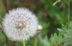 Big air dandelion background royalty free stock image