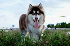 Big Alaskan dog on the grassland. One big Alaskan dog standing On the empty grassland looking at camera and put tongue out with blue sky Stock Images