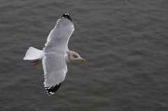 Big Albert. A photo of a Seagull royalty free stock image