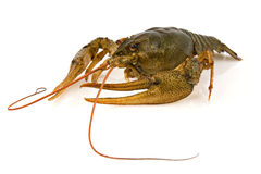 Big alive crayfish Royalty Free Stock Image