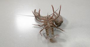 Big alive crayfish on a white background. Big alive crayfish on a white background stock footage