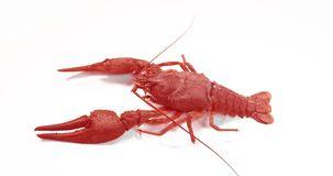 Big alive crayfish on a white background. Big alive crayfish on a white background stock video footage