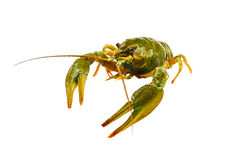 Big alive crayfish  on white Royalty Free Stock Photo