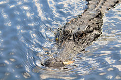 Big Alligator Royalty Free Stock Images