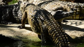 Big alligator or crocodile coming out of a river in a natural park or zoo. Crocodile or alligator in a river of a natural park or zoo stock video