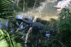 Big alligator in green water with plant in zoo royalty free stock photo