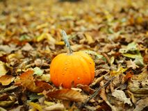 Big alone orange pumpkin with fall leaves at autumn sunset royalty free stock image